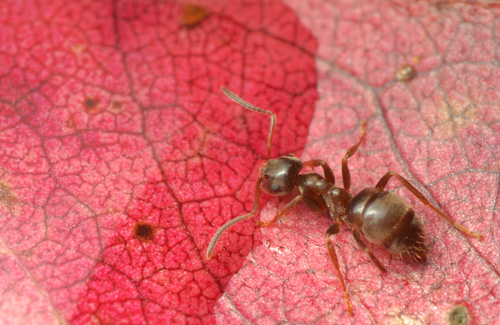 A macro photo of an ant drinking from water on a red leaf - this photo was captured using a reverse mounted lens.
