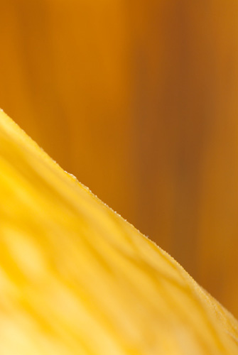 Macro photograph of a dried daffodil flower taken with a reversed 24mm lens on 48mm of extension tubes, giving a reproduction ratio of just over 4:1
