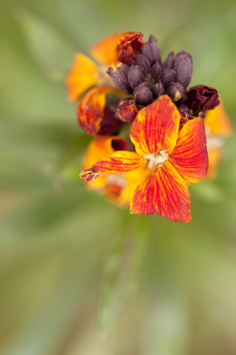 Photo of a wallflower taken with a 100mm macro lens