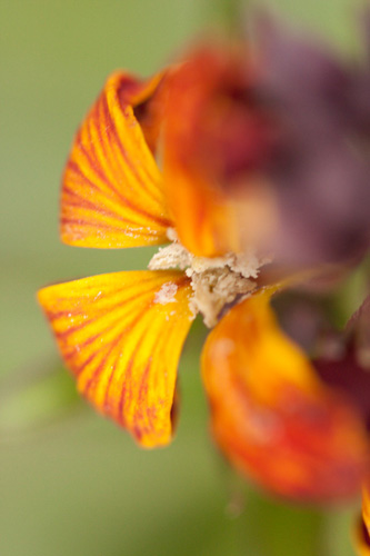 Photo of a wallflower taken with a 100mm macro lens at its closest focusing distance