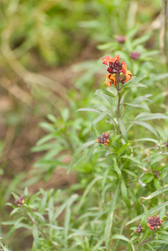 Photo of a wallflower taken with a standard zoom lens zoomed to 100mm at its closest focusing distance
