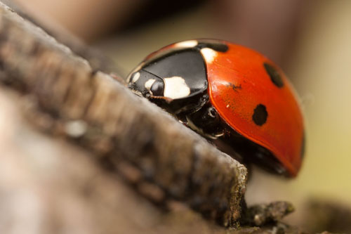 Photograph of Coccinella septempunctata, the seven spotted ladybird. The photo was lit using diffused flash, which has resulted in smooth highlights and generally pleasing lighting.