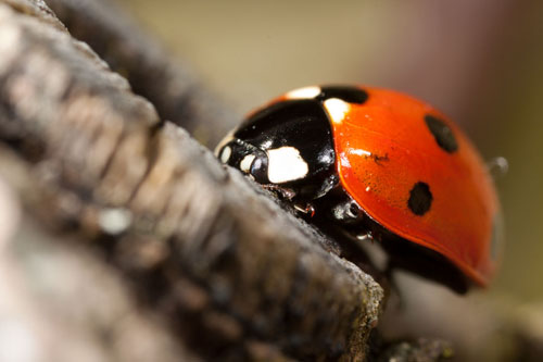 Photograph of Coccinella septempunctata, the seven spotted ladybird. The photo was lit using undiffused flash, which has resulted in harsh highlights and generally unpleasing lighting.