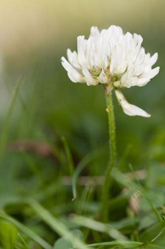 Photograph of a clover flower. The photo was lit using flash as a fill light balanced with the ambient light, resulting in an image where both the flower and background are well lit.