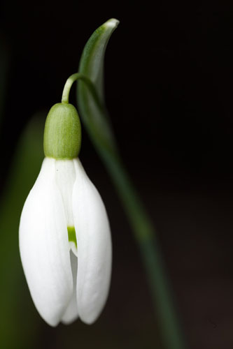 Photograph of a snowdrop flower lit using flash, resulting in a dark background.
