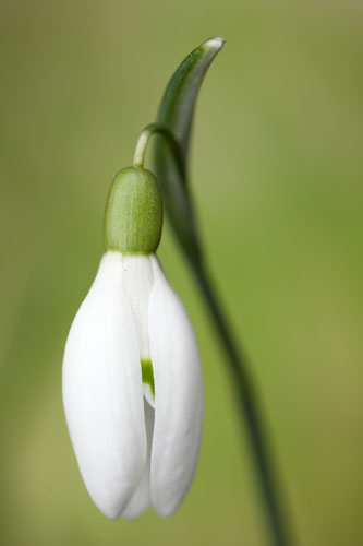 Photograph of a snowdrop flower lit using flash, with a false background added behind it to make the background brighter and more colorful.