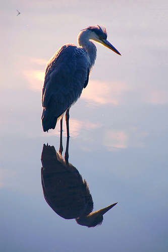 Heron in early morning light with reflection
