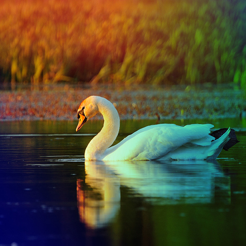 Swan reflected in lake in beautiful evening light