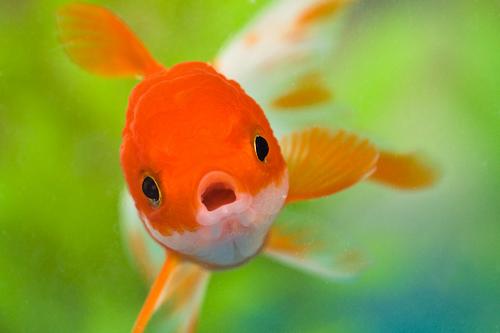 Fish in aquarium photographed using flash