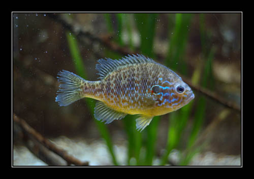 Lepomis gibbosus fish photographed in aquarium with a few dirty spots on the glass