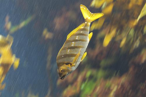 Panning shot of Spottedtail morwong fish