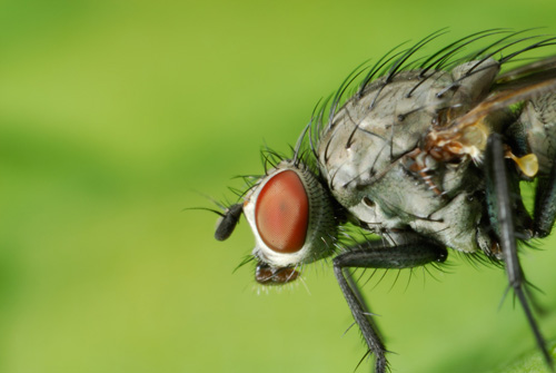 Macro photo of a fly taken using a speedlight flash on a macro bracket