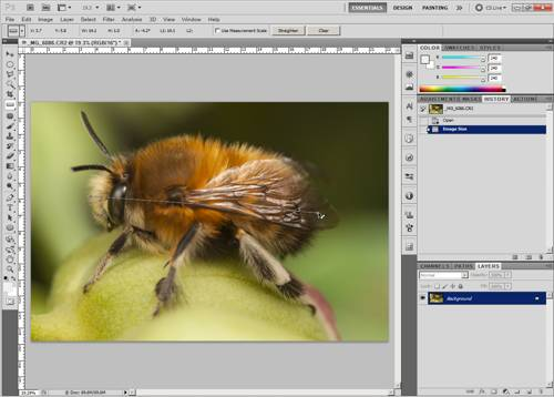 Measuring the size of a bee in a macro photograph