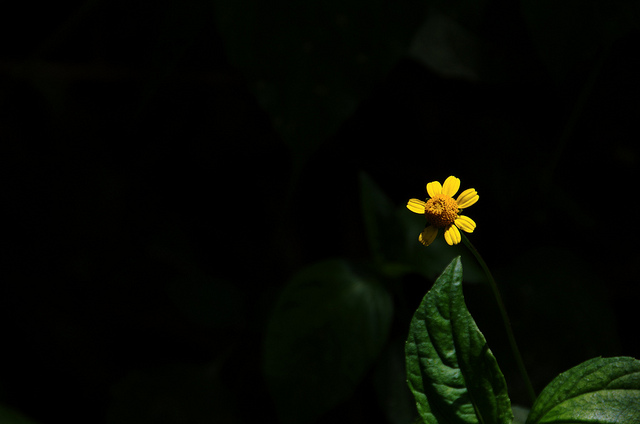 Minimalist photo of a yellow flower against a dark background