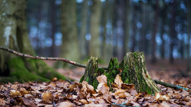 Moss covered tree stump in woodland - shot using a shallow depth of field, creating a sense of depth