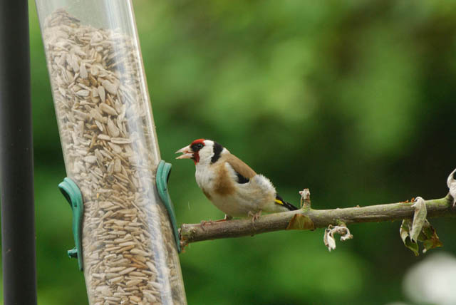 European Goldfinch perching on a stick attached to a feeder