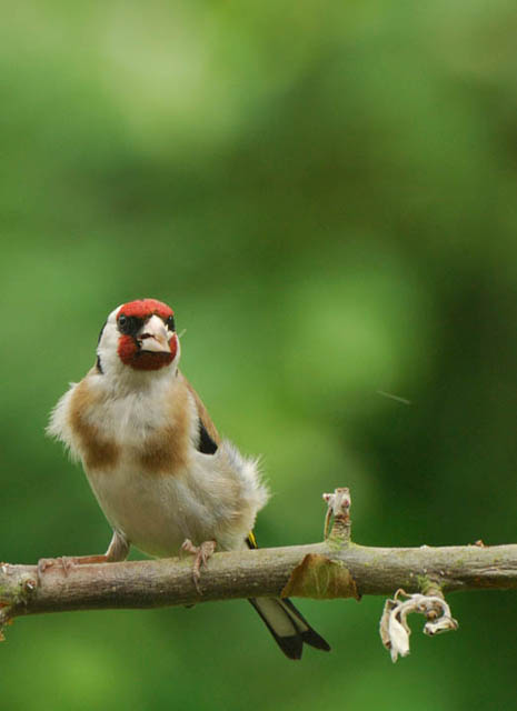 European Goldfinch perching on a twig