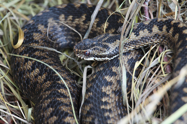 Adder that had been hiding under a corrugated tin sheet