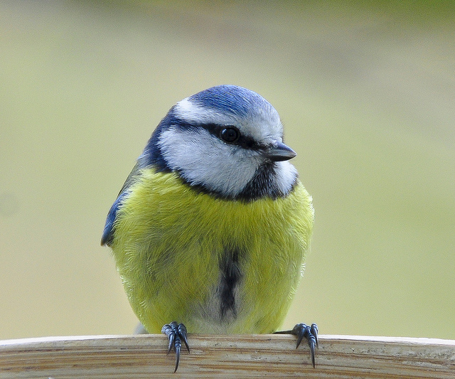 Blue Tit close-up