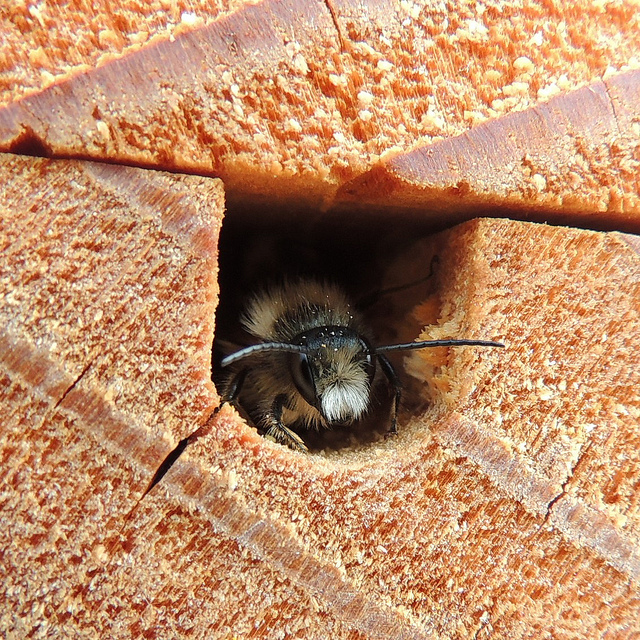 Male red mason bee (Osmia bicornis) in a bee house