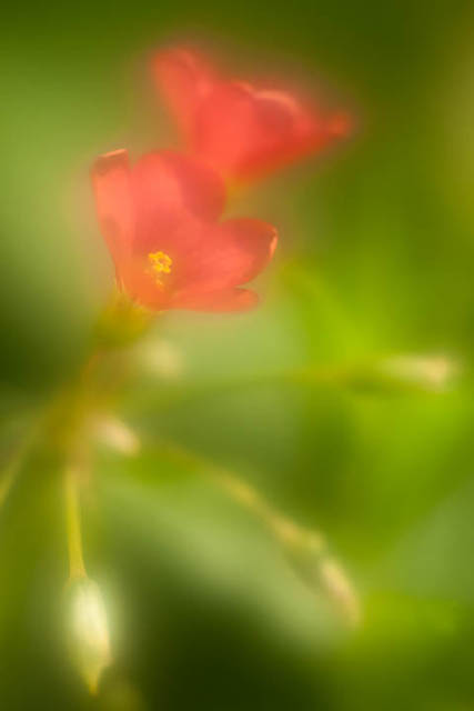 Oxalis tetraphylla flower photographed using a 100mm lens at f/2.8 with UV filter smeared with small amount of vaseline