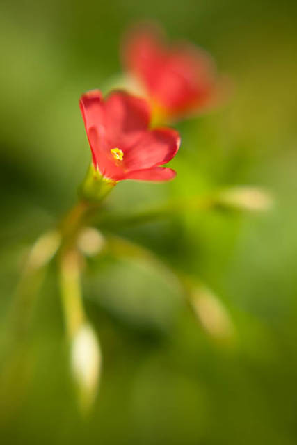 Oxalis tetraphylla flower photographed using a Lensbaby Double glass optic at f/2.8 with +10 close-up filter