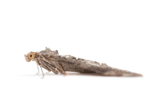 Macro studio portrait of a moth with a white seamless background