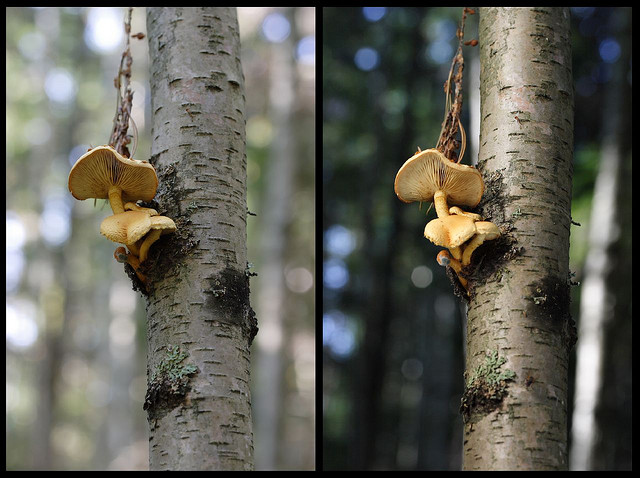 Fungi growing on a tree. Comparison between the same photo shot using natural light only (left image) and with flash through warming gel and diffuser plus reflector on camera right and below (right image).