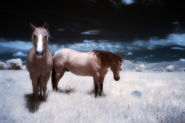 False color infrared photo of two horses in a field