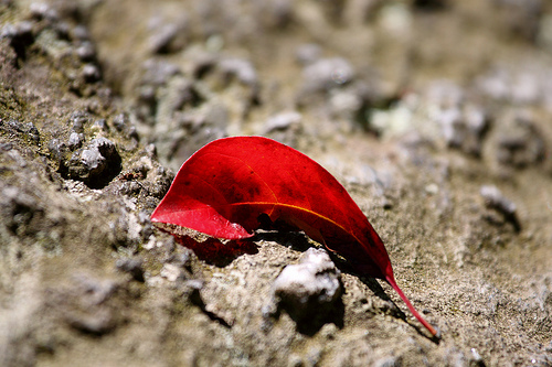 Bright, saturated red leaf against a background of gray rock