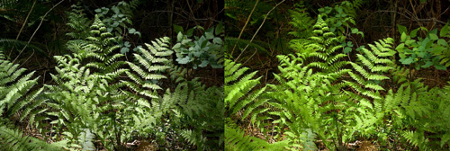 Comparison of the effect of a circular polarizer on fern leaves, showing how it reduces glare, thus increasing color saturation.