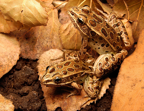 A pair of frogs amongst dead leaves - example of a monochromatic photo