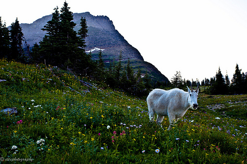 Mountain Goat and flowers, Glacier National Park