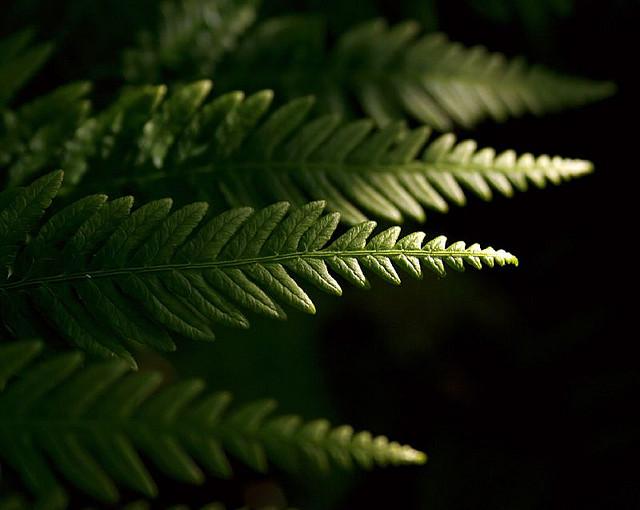 Fern fronds in dappled light