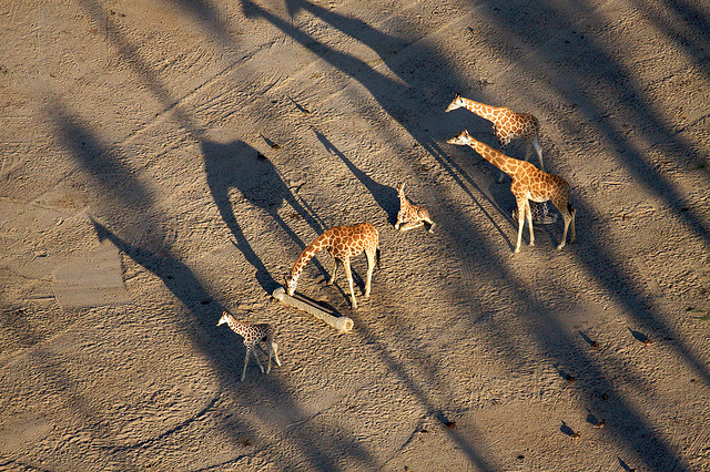 Giraffes with long shadows photographed from above