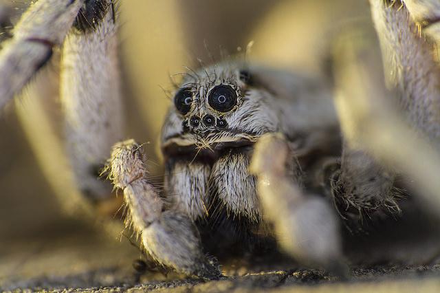 Lycosidae spider macro photograph
