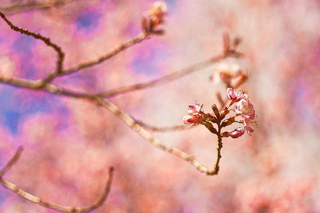 Impressionistic Bokeh: Toronto Sakura.