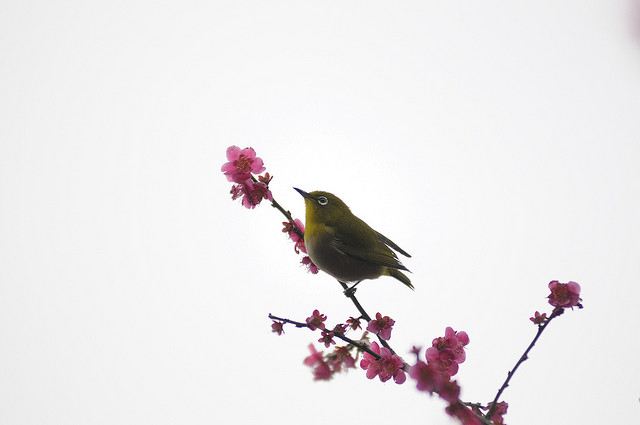 White-eye and Plum