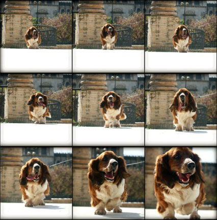 Sequence of a dog walking towards the camera, shot with continuous autofocus