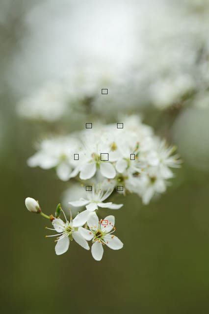 Photo of blackthorn blossoms with AF points overlaid showing single point used for autofocus in red