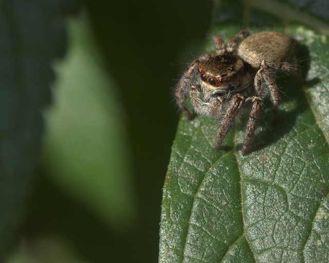 Photo of a jumping spider originally captured in Olympus RAW Format (ORF), then converted to DNG format before being processed to a JPEG image.