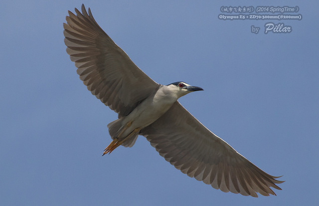 black crowned night heron, captured using continuous autofocus mode