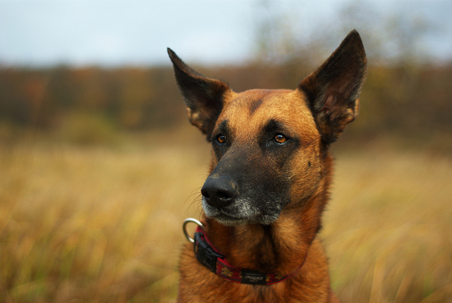 Dog portrait taken with a large aperture, giving a blurred out of focus background