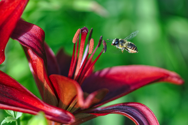 Photo of a flower and bee manually focused using focus peaking