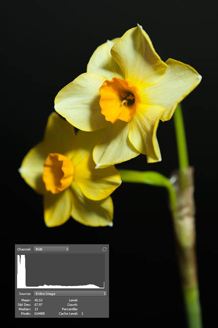 Photo of a daffodil taken with a black background far away and lighting also far away. Because the lighting is far away, some of it has spilled onto the background.