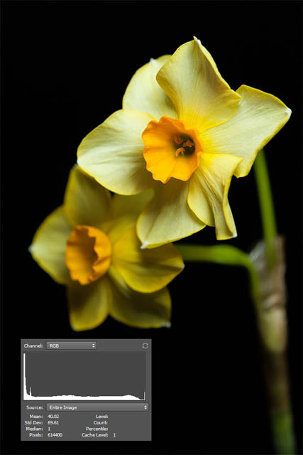 Photo of a daffodil against a black background, taken with the background far behind the flowers but the lighting quite close to the flowers.