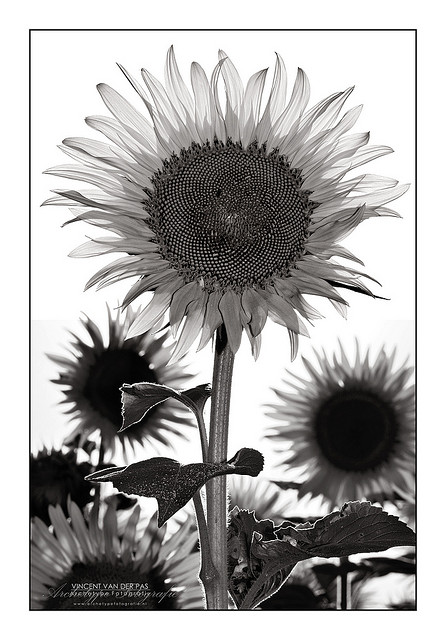 Sunflower in B&W - sun used for white background and to backlight the flower, fill flash used to brighten the front of the flower