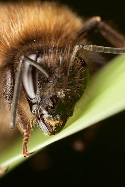 Bee portrait where focus plane is placed such that it goes through the mandible and below / behind the eye