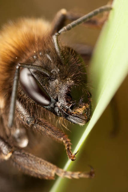 Bee portrait where focus plane is placed such that it goes through the mandible and through the eye, putting both in focus
