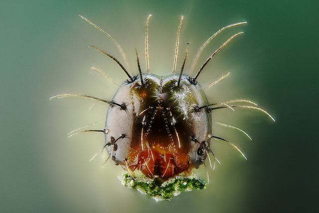 Young caterpillar portrait, extreme macro captured using a microscope objective and focus stacking